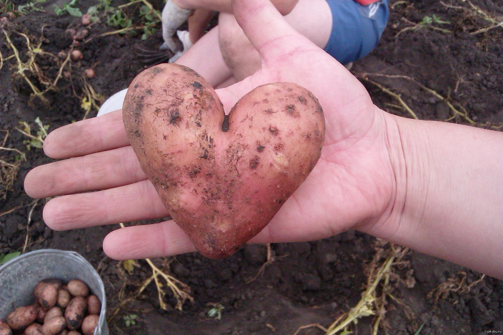 Наиболее безопасна, с точки зрения гликемичности, молодая и отварная кусками старая картошка.